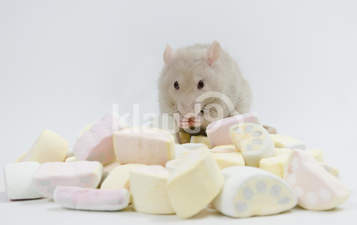 Cute Rat with marmalade.