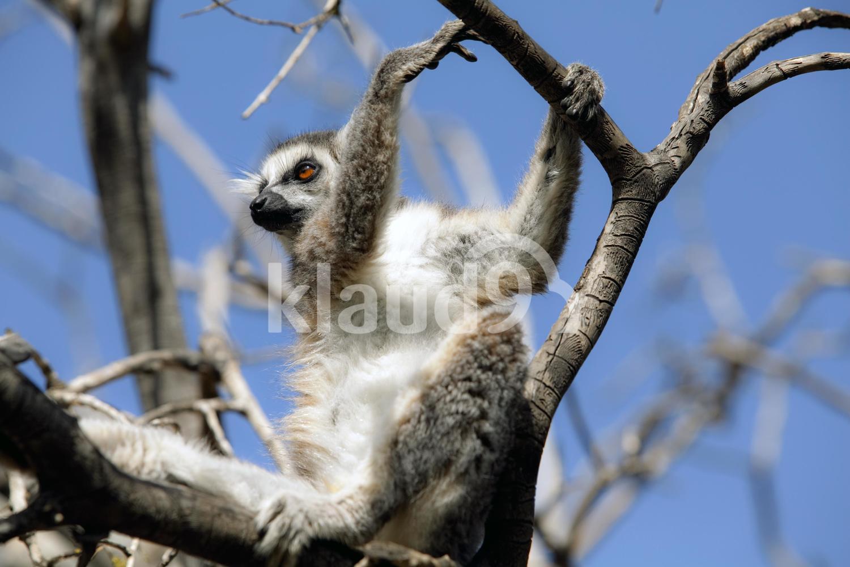 Lemurs of Madagascar, Ring-Tailed Lemurs