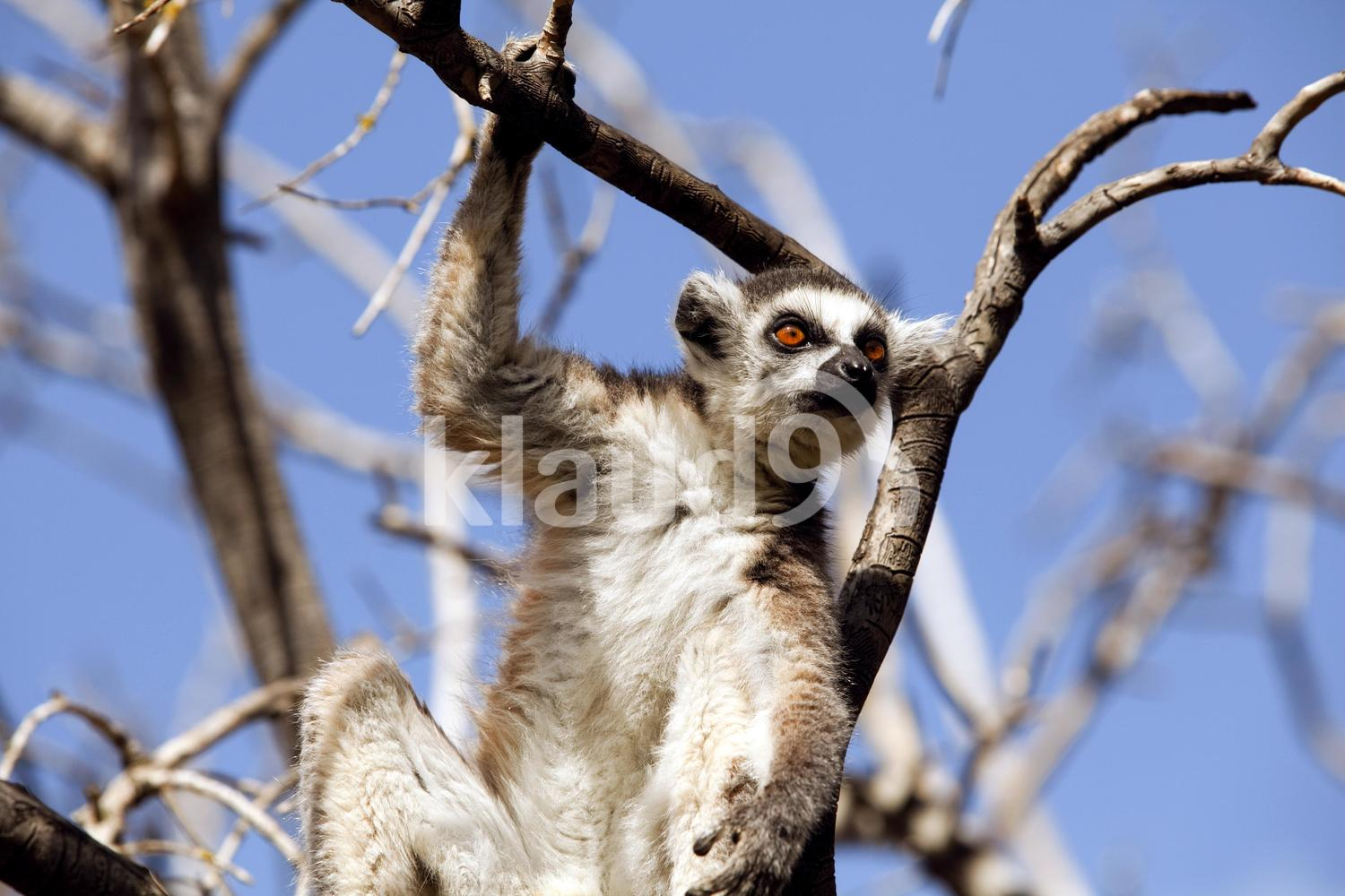 Lemurs of Madagascar, Ring-Tailed Lemurs