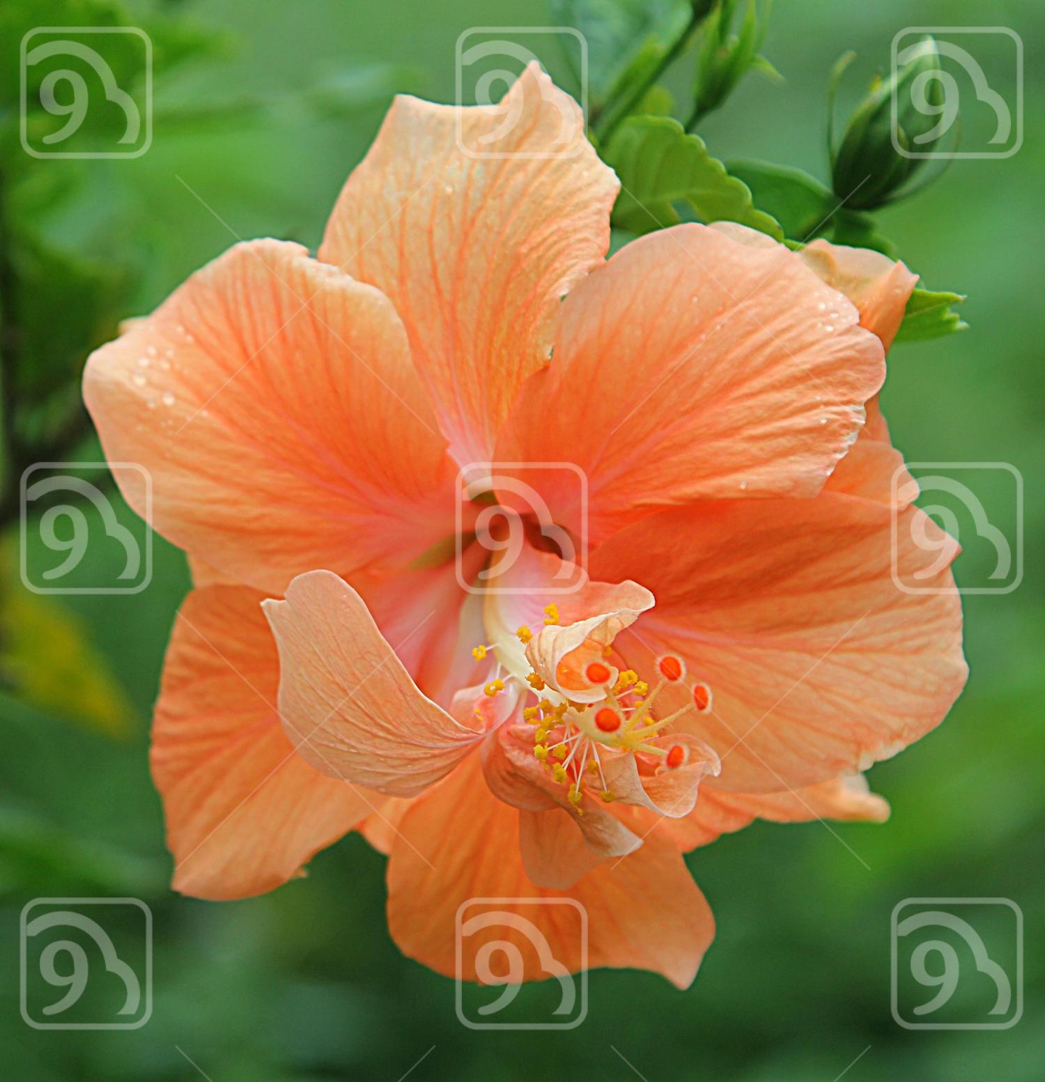 Peach Hibiscus Flower