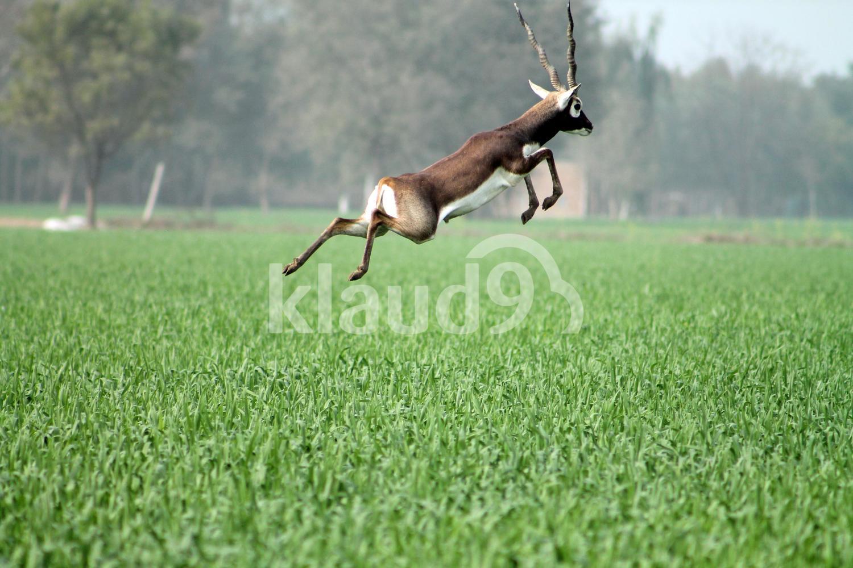 Jumping Black Buck