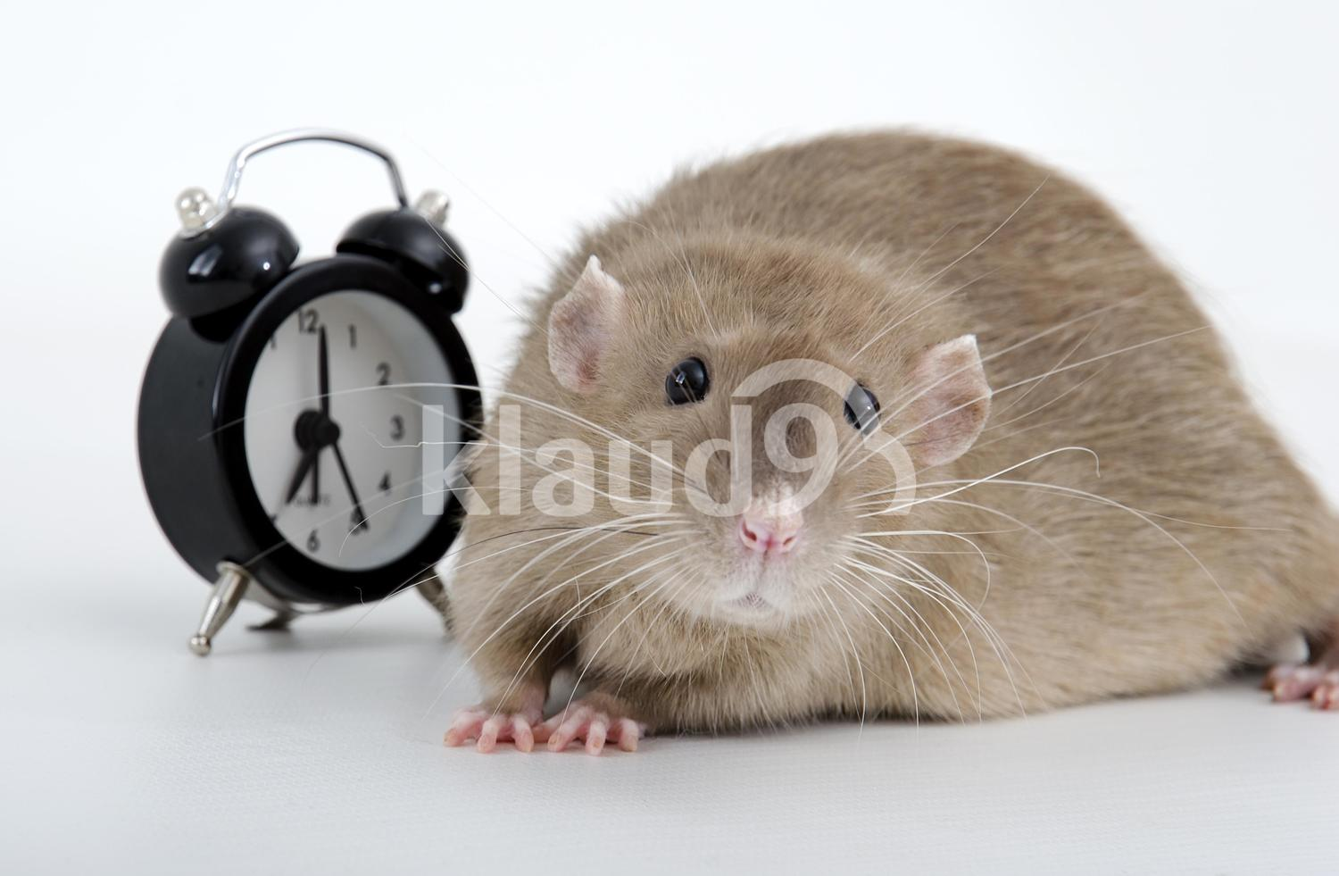 Rat and alarm clock.
