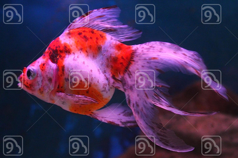 Calico Goldfish