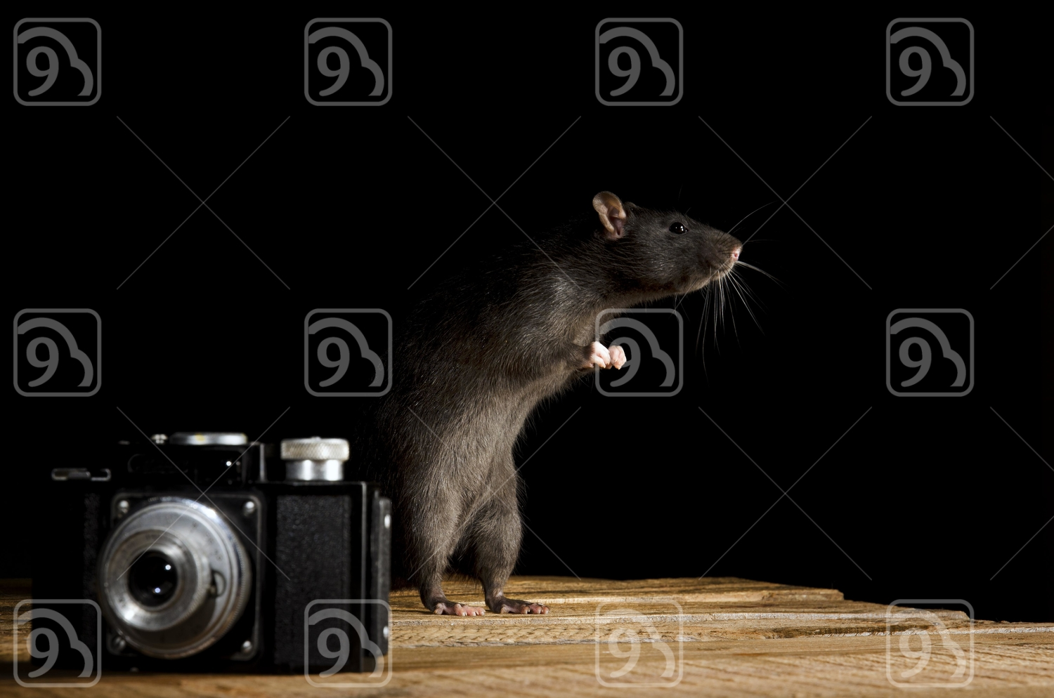 Brown rat and camera