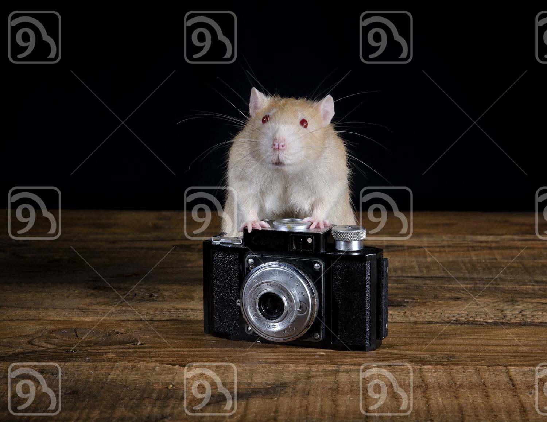 Inquisitive Rat