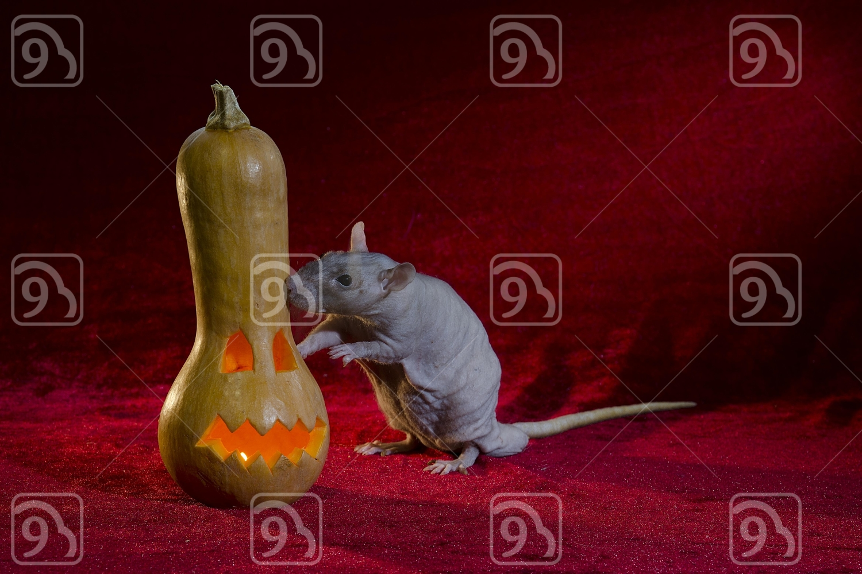 Jack-o'-lantern and Grey rat.
