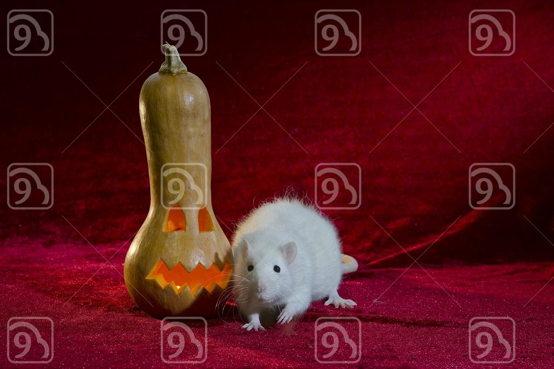 Halloween rat.