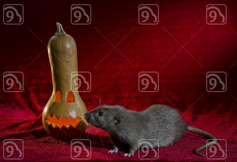 Jack-o'-lantern and rat.