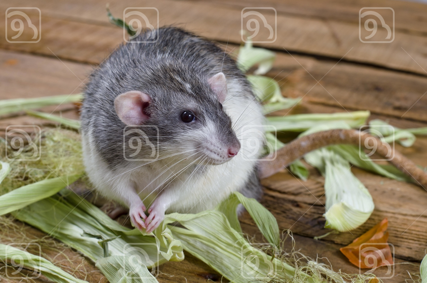 Grey Rat and leaves of corn.