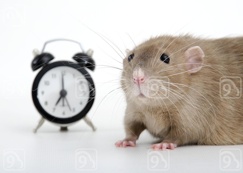 Brown Rat and alarm clock.