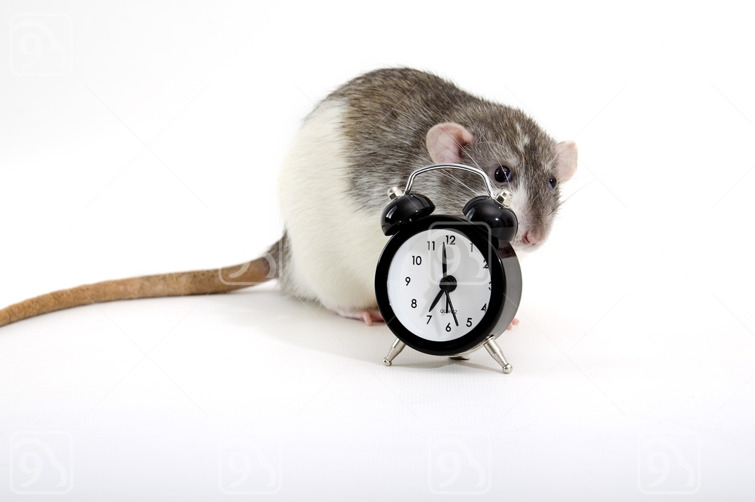 Rat hiding behind alarm clock.