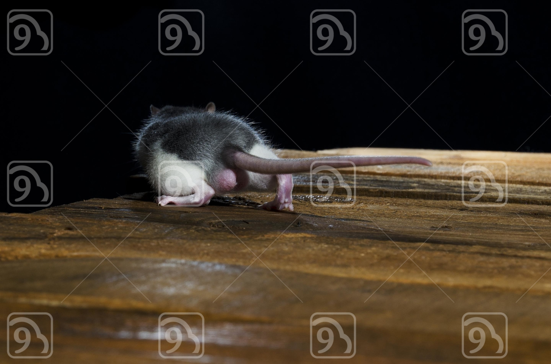Decorative rat.