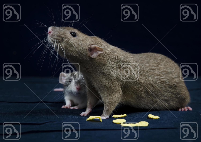 Two Decorative rats.