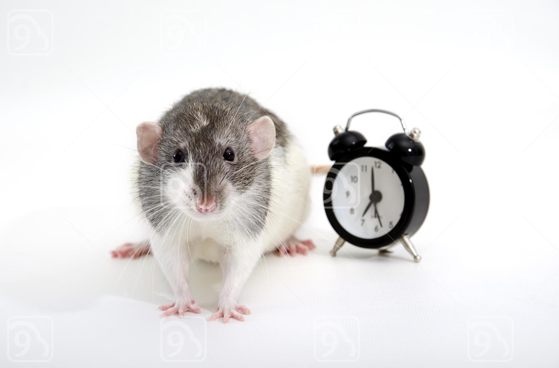 Rat and alarm clock.