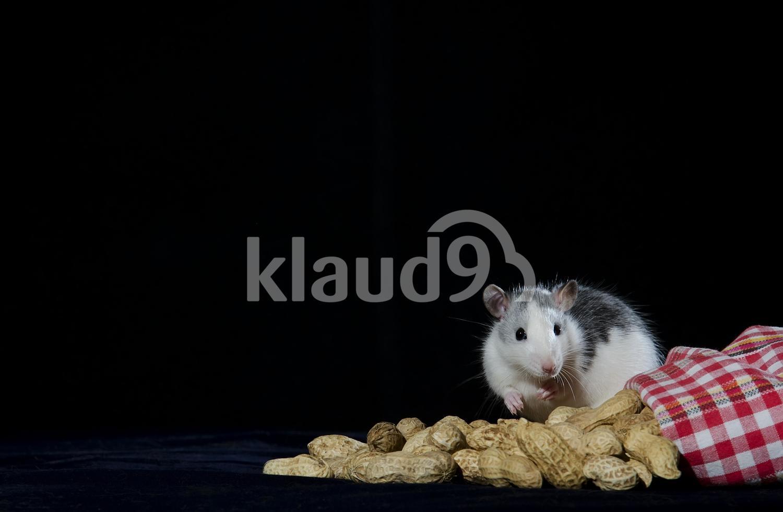 Rat and peanuts.