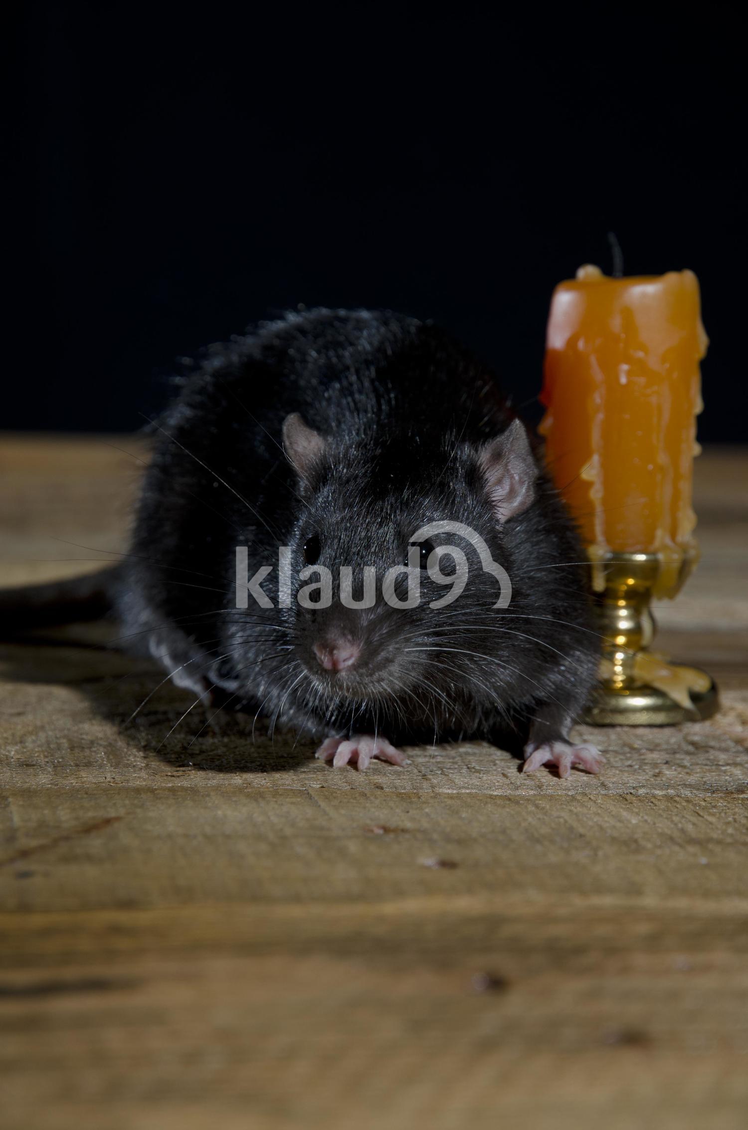 Black Young decorative rat.