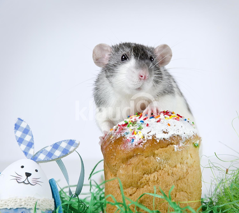 Cute little rat nibbling on food