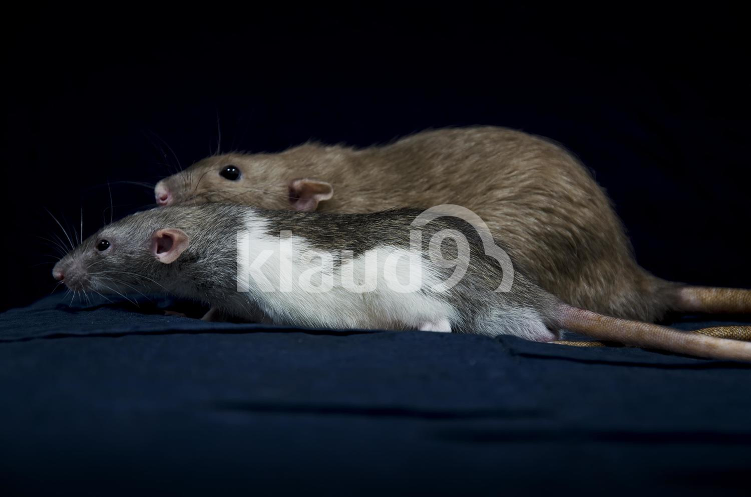 Two rats racing