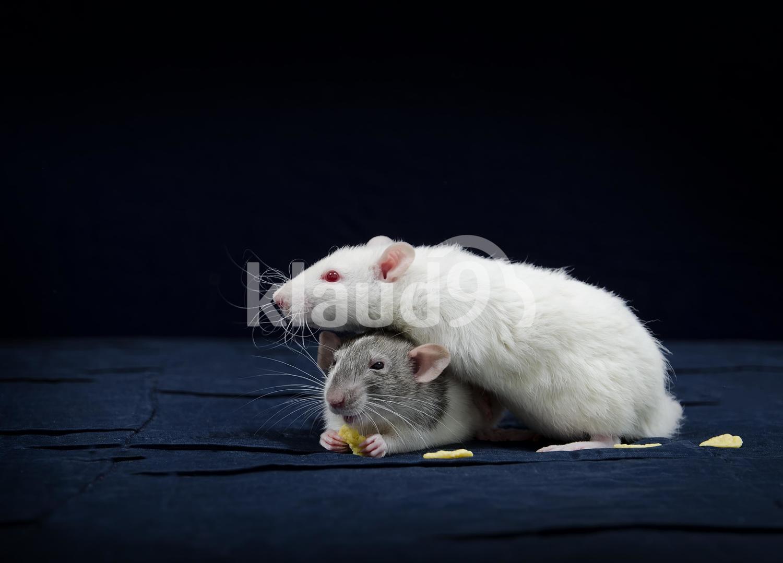 Decorative rats.