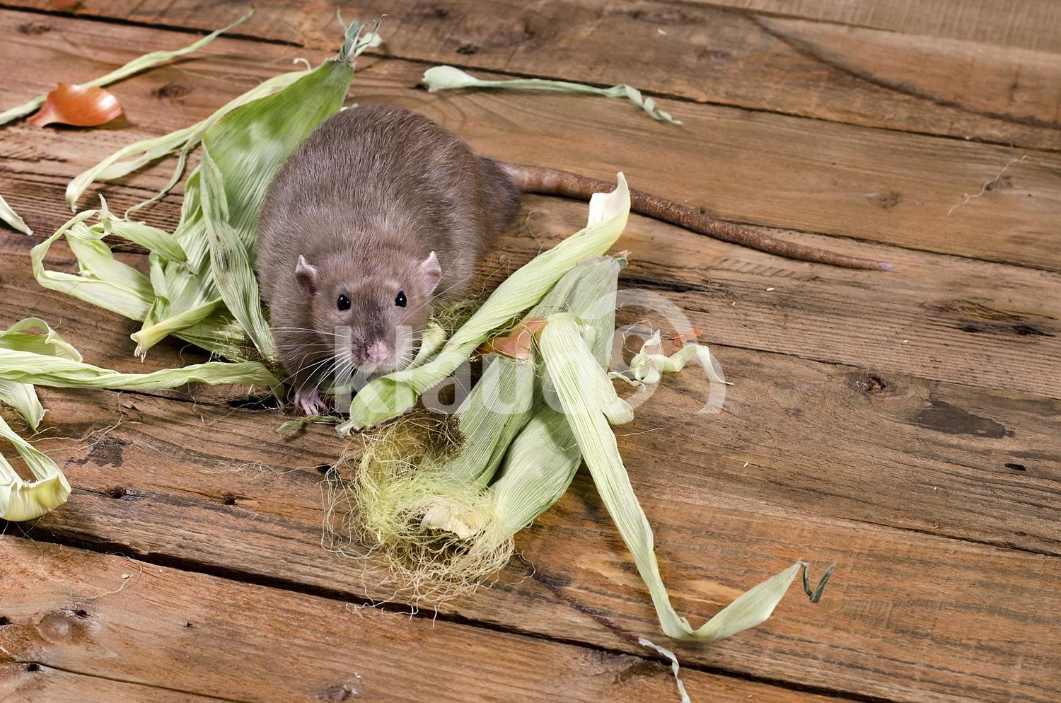 Rat and leaves of corn.