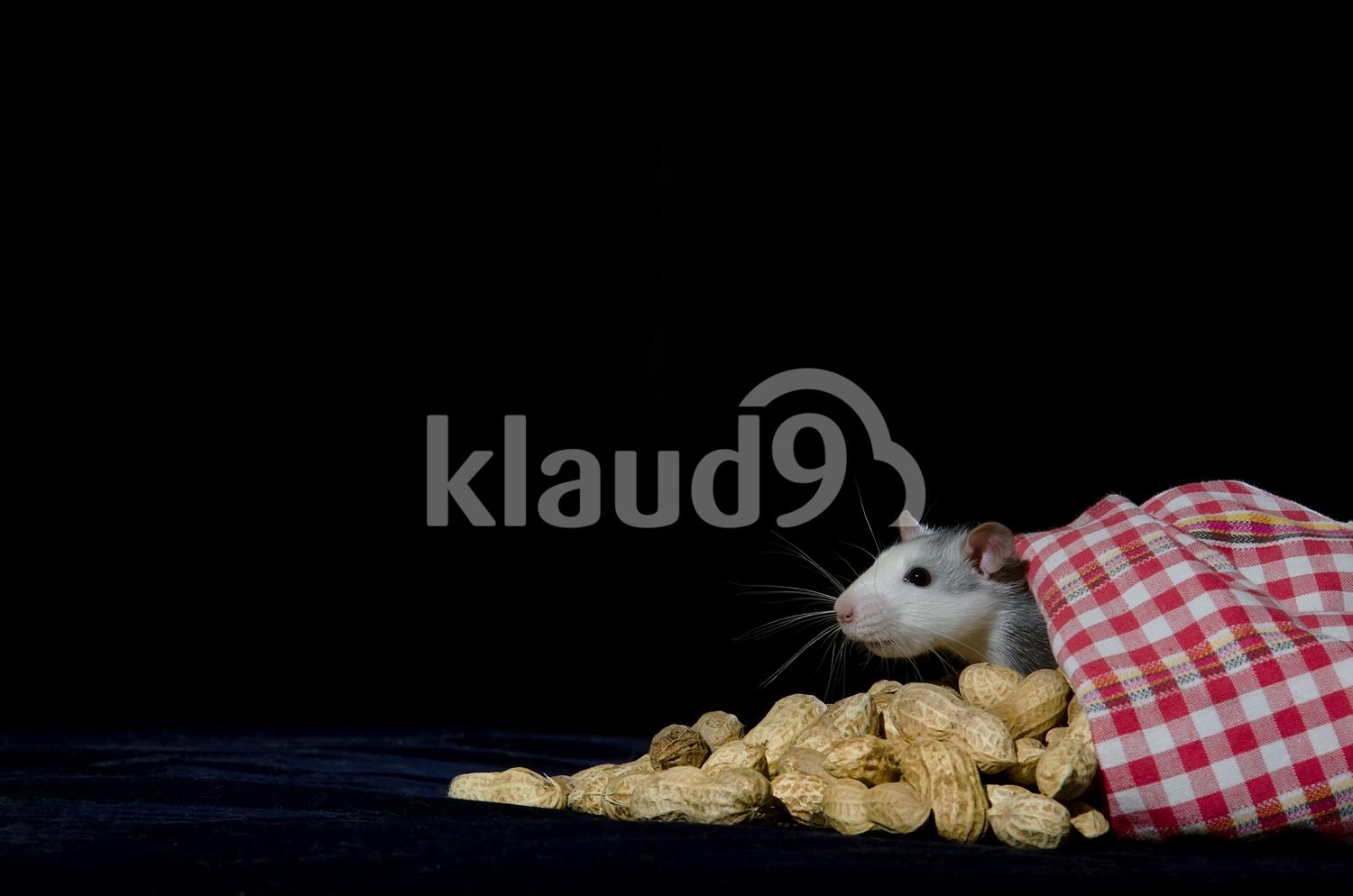 Rat hiding with peanuts.