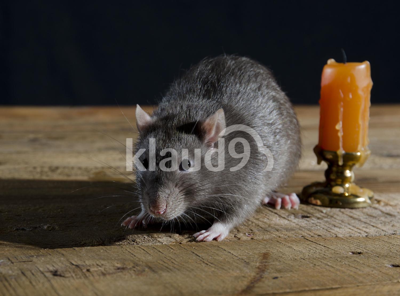 Young Grey decorative rat.