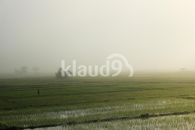 Foggy rice field
