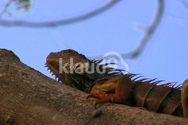 Iguana sleeping on tree