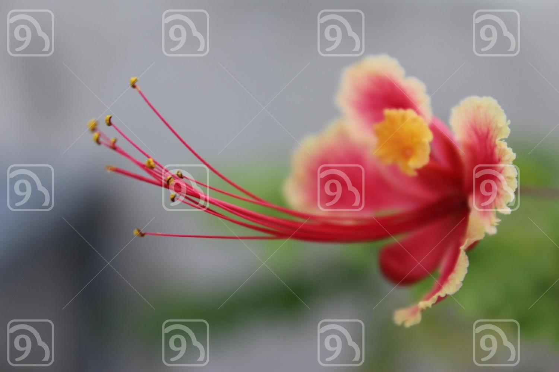 CLAVELIN ROSE FLOWER