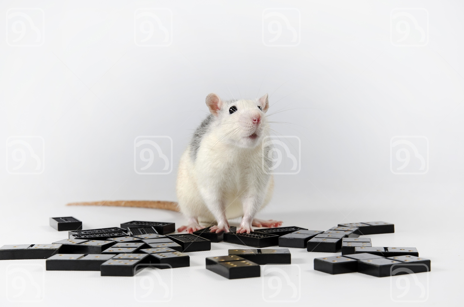 White Rat and dominoes.
