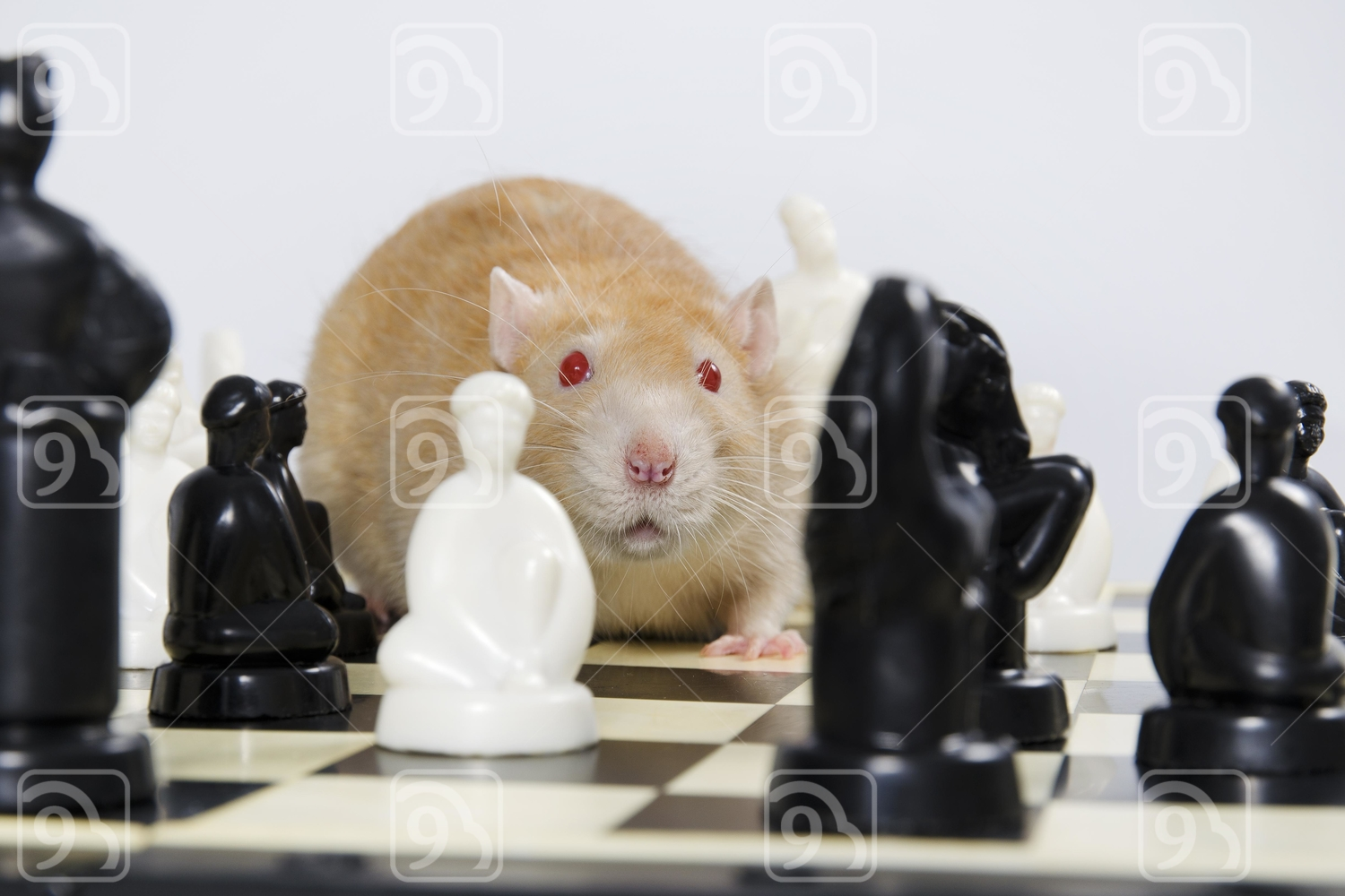 Brown Rat and chess.