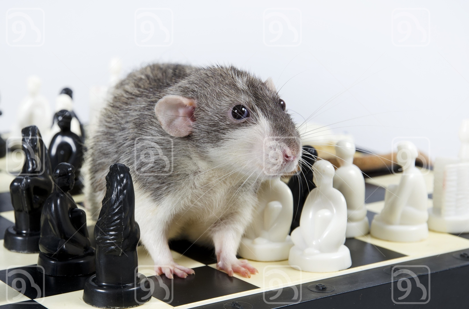 Grey Rat and chess.