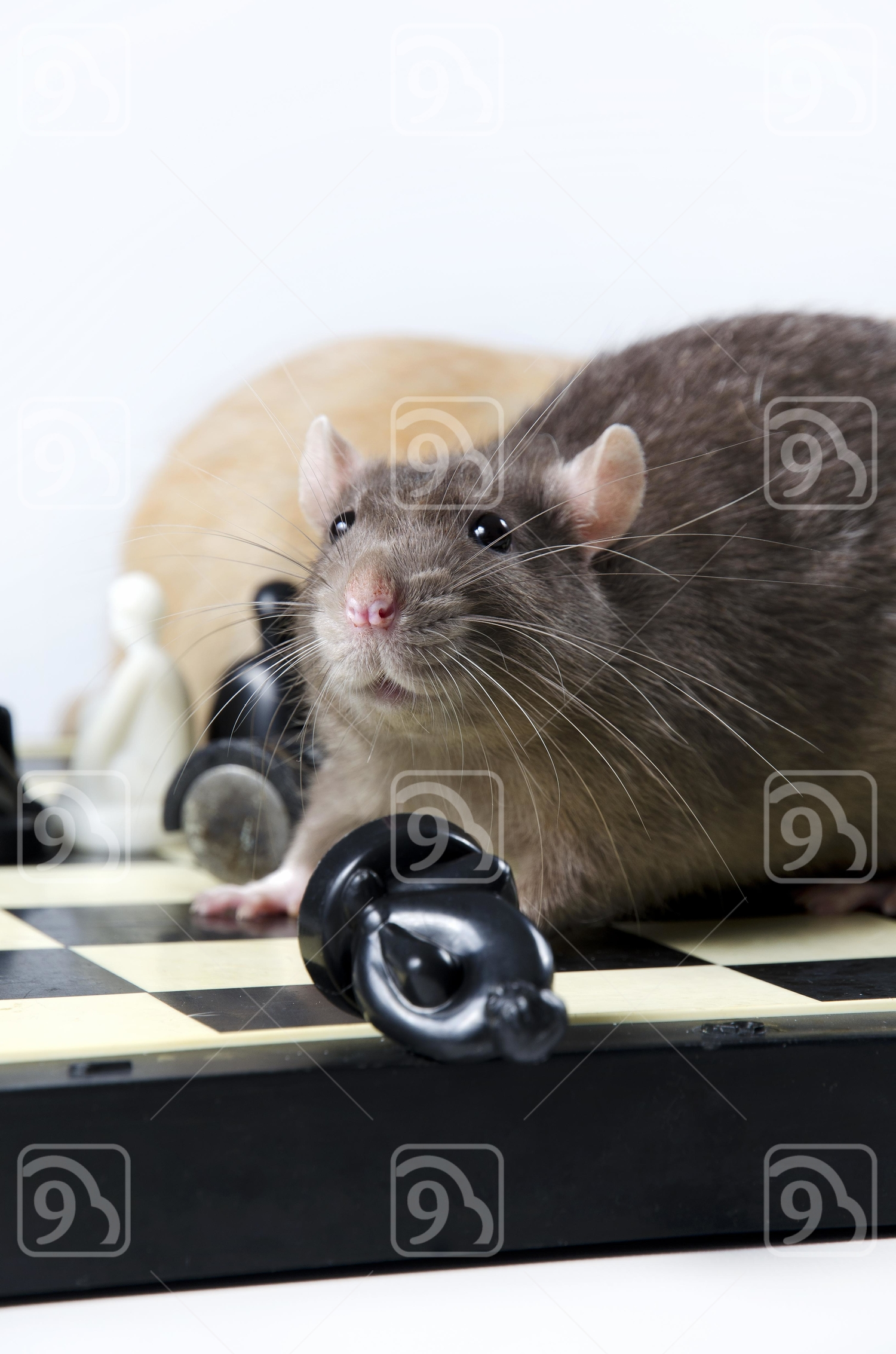 Rats and chess.