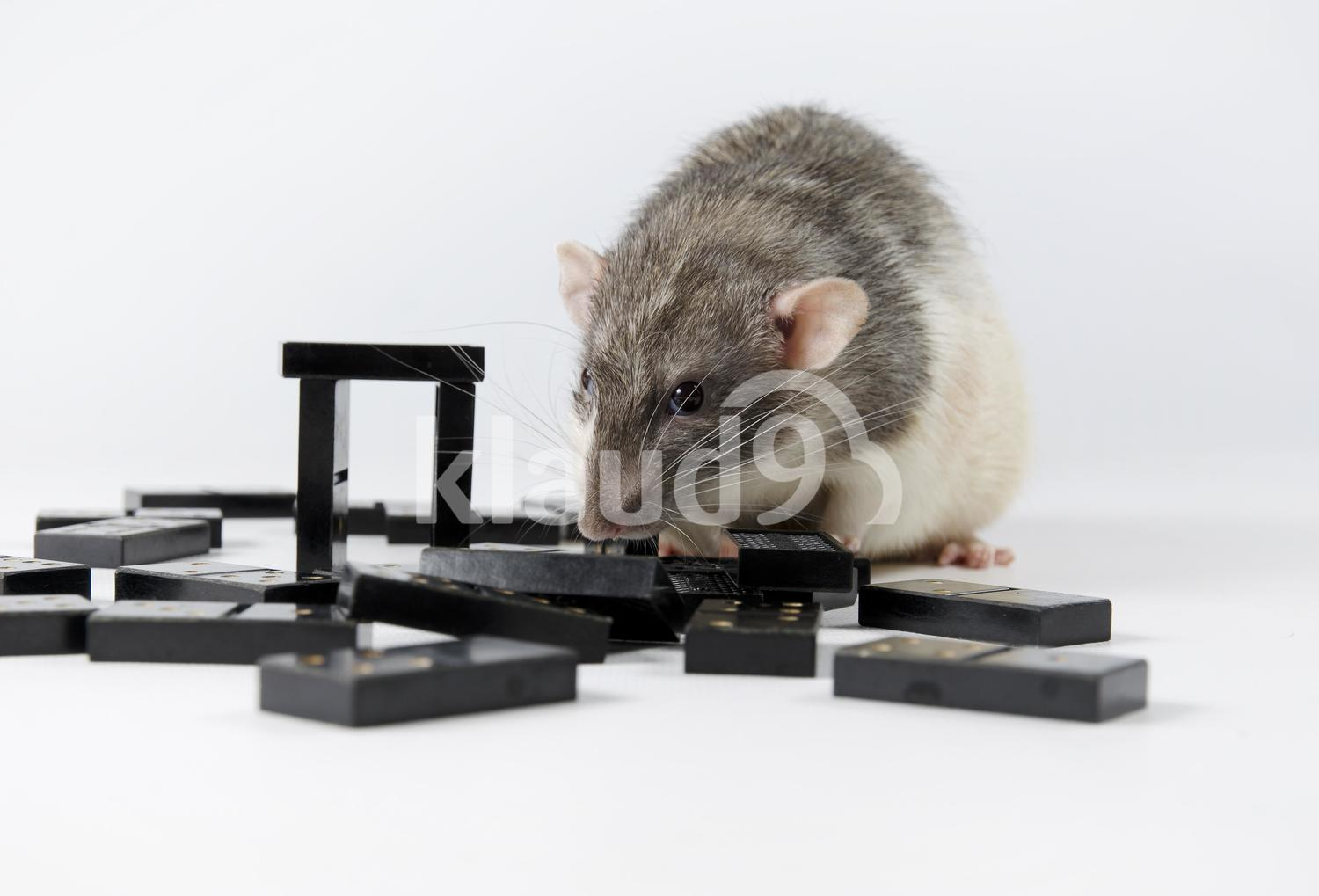 Rats and dominoes.