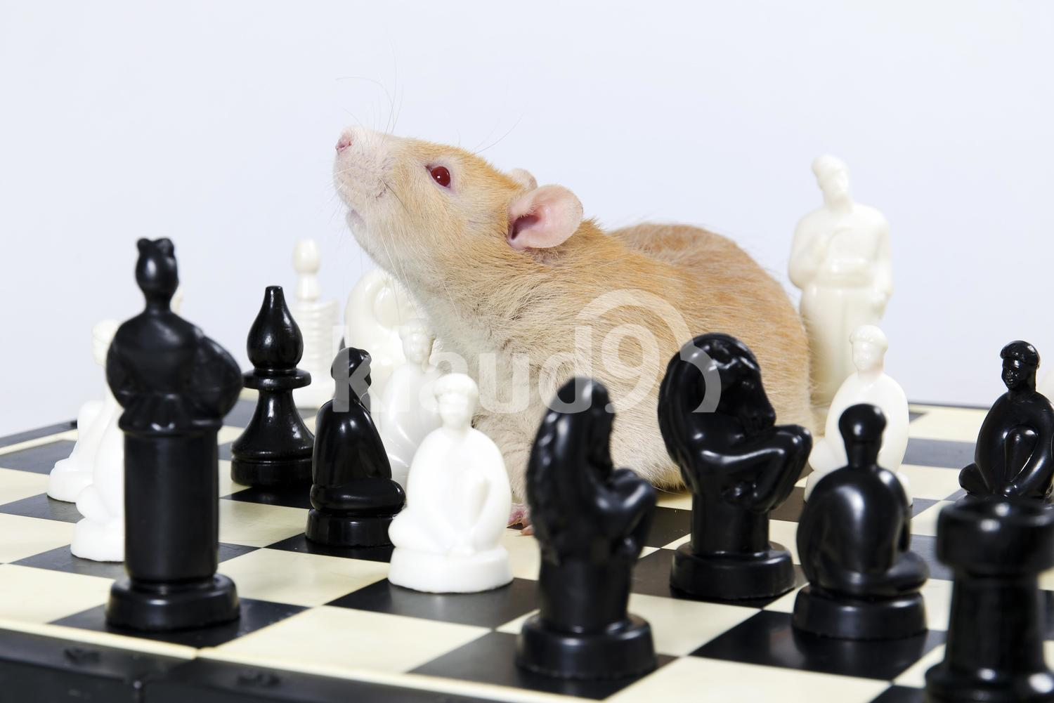 Intelligent Rat and chess.