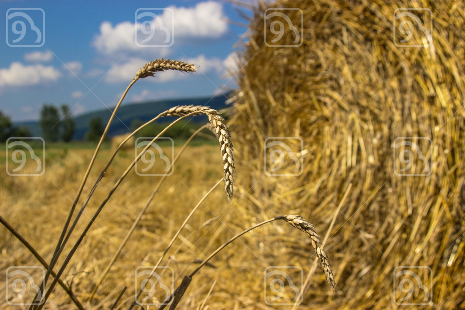 Spica of wheat