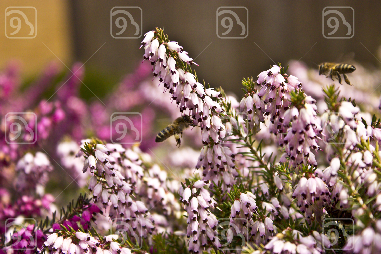 Bees on erica flower