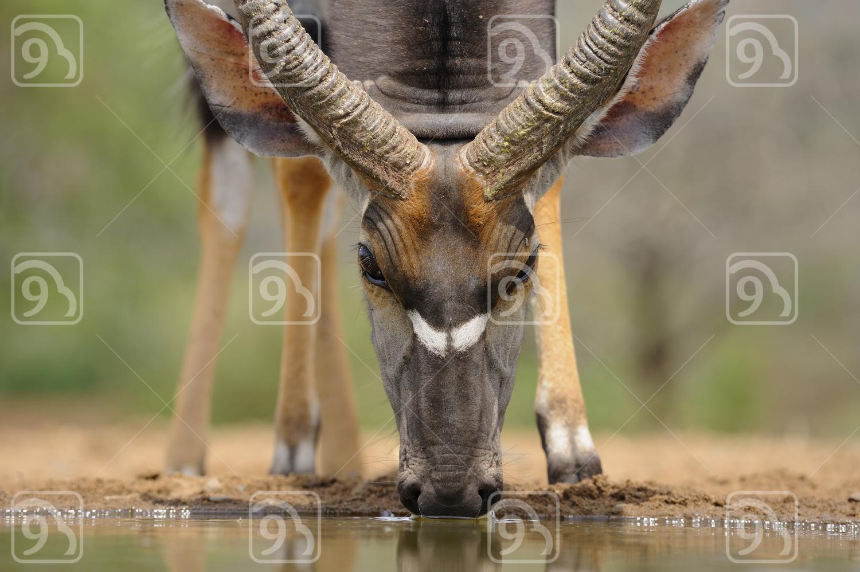 Nyala Bull Close Up.