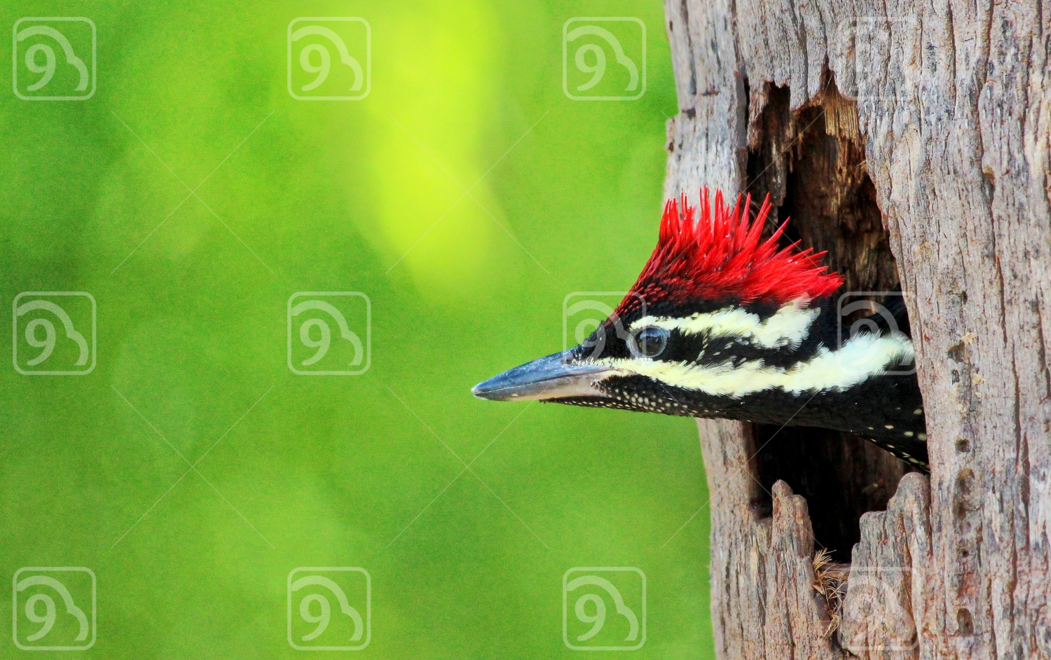 Flame headed woodpecker