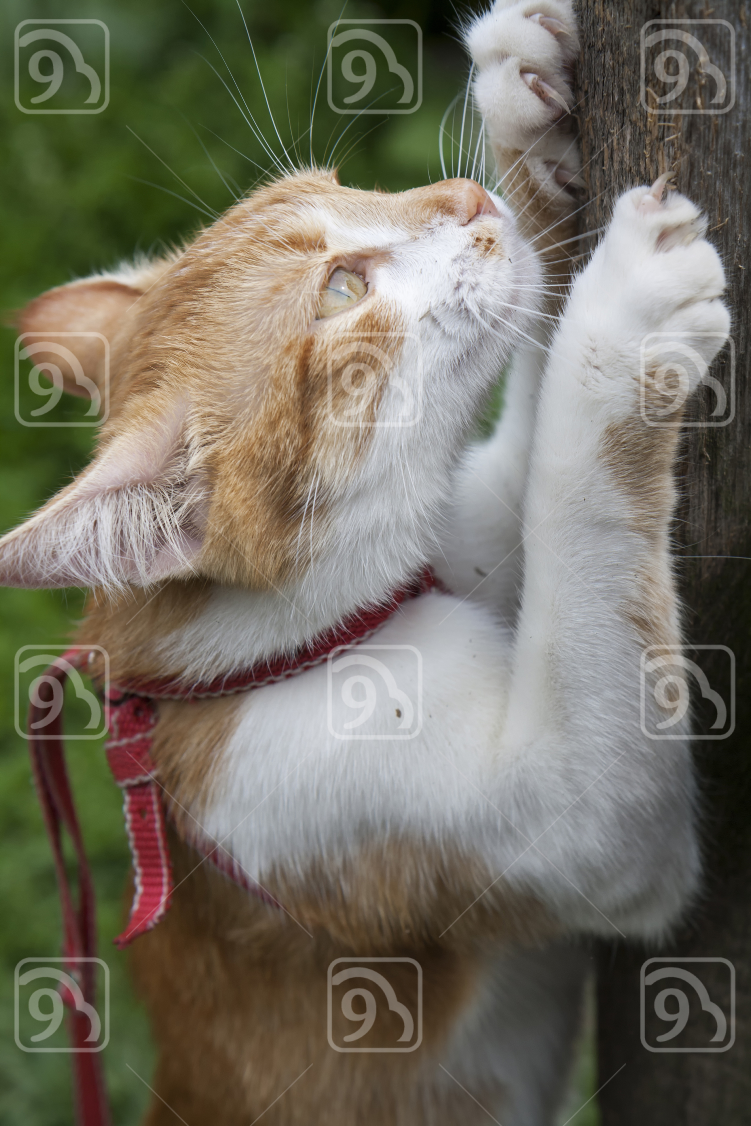 Cute white-red cat in red collar