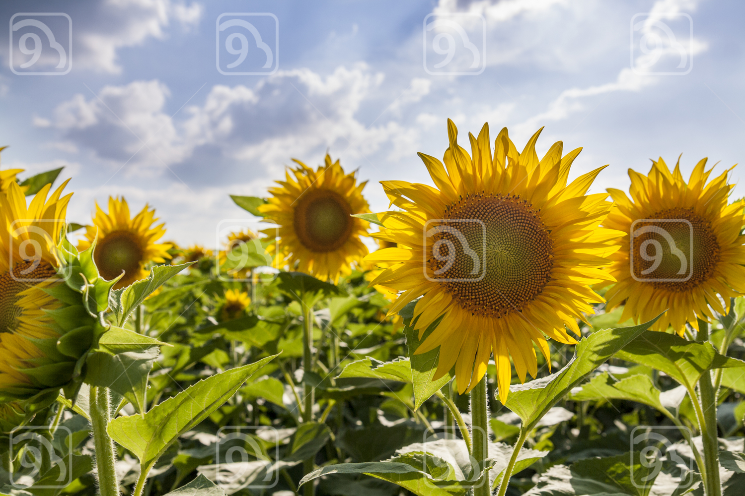 Yellow sunflowers on field