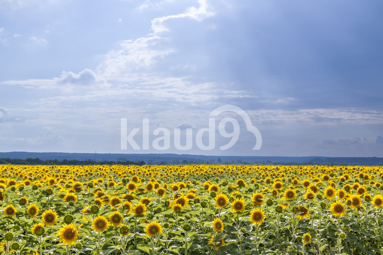 Yellow sunflowers on field