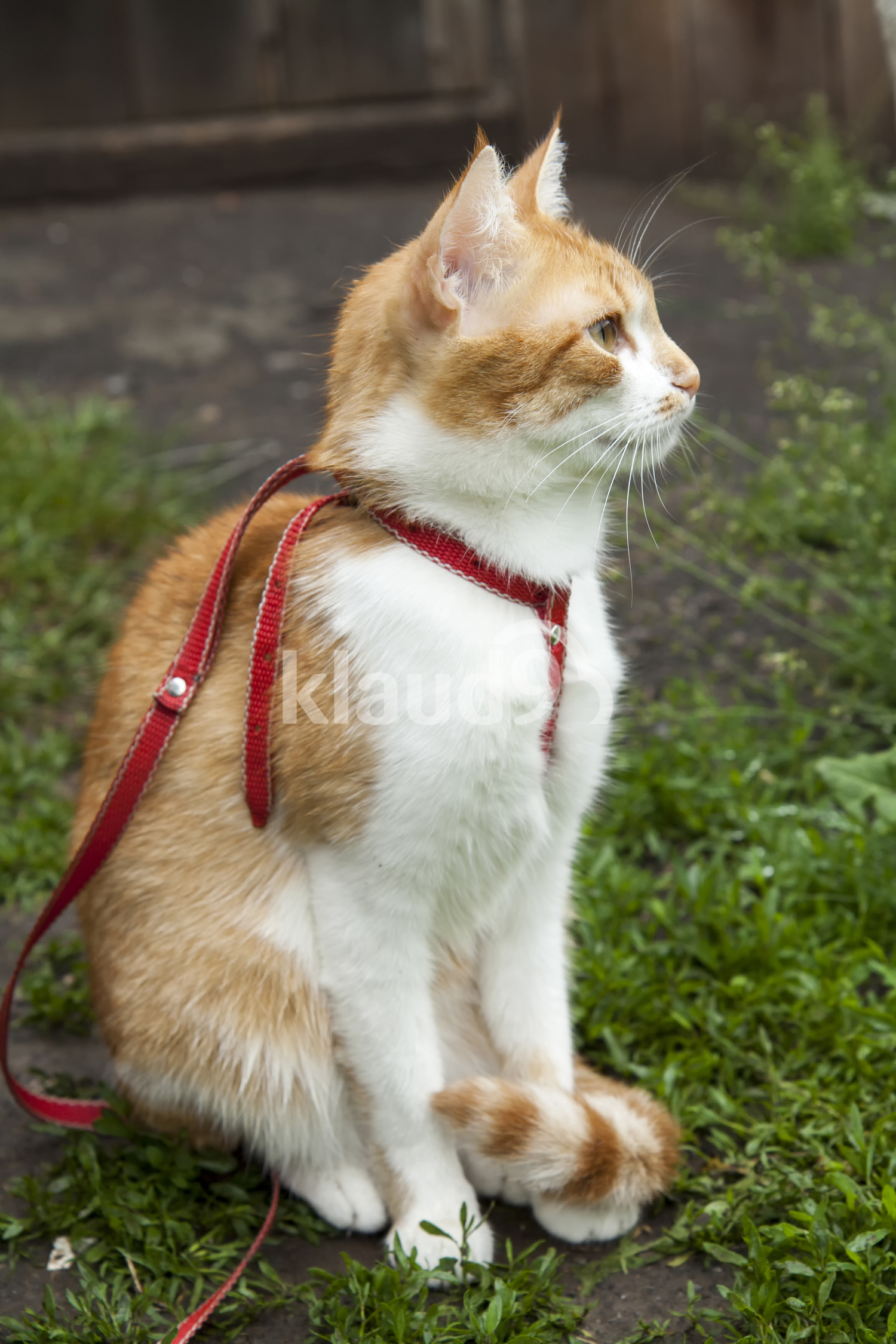 Cute white-red cat in a red collar