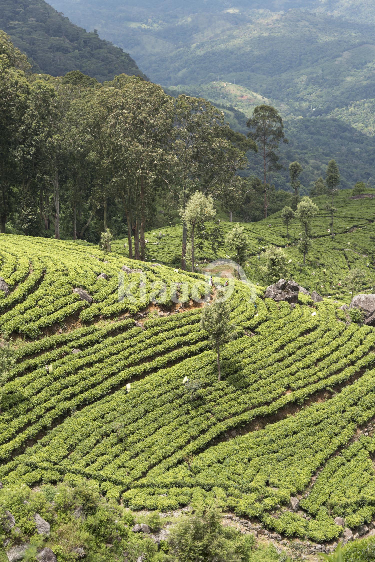 Dambatenne Tea Estate, Sri Lanka