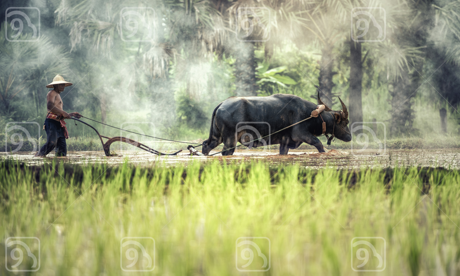 Rice farming with buffalo