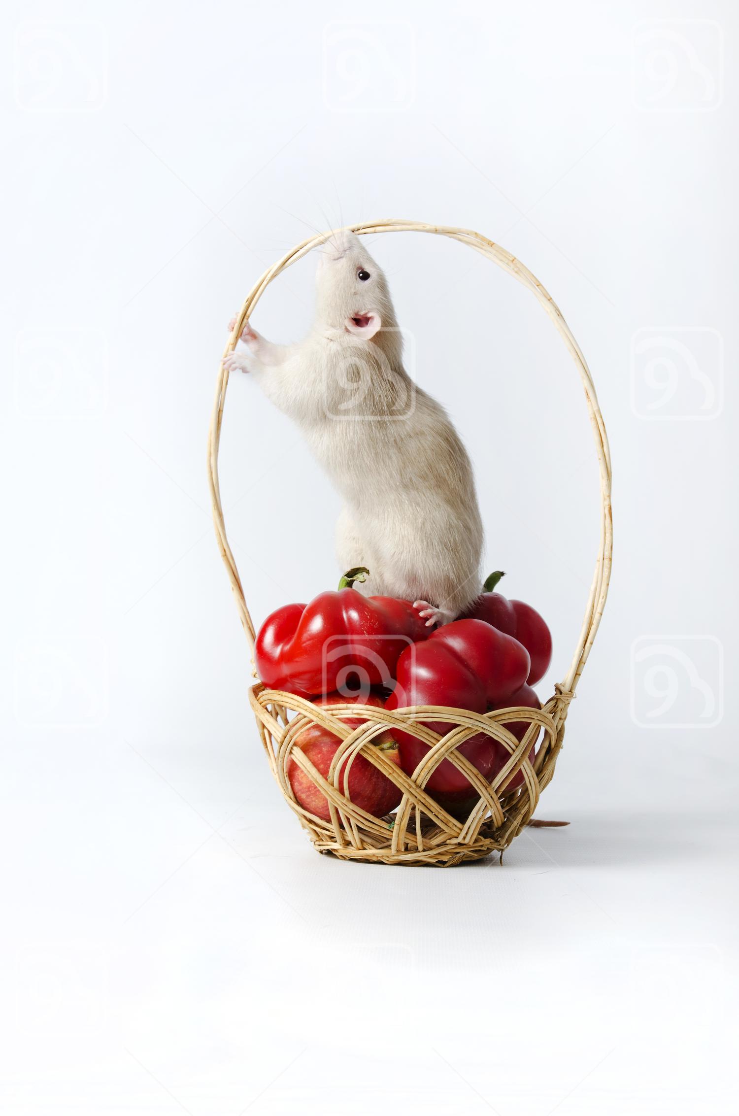 Nosy Rat on Wicker Basket