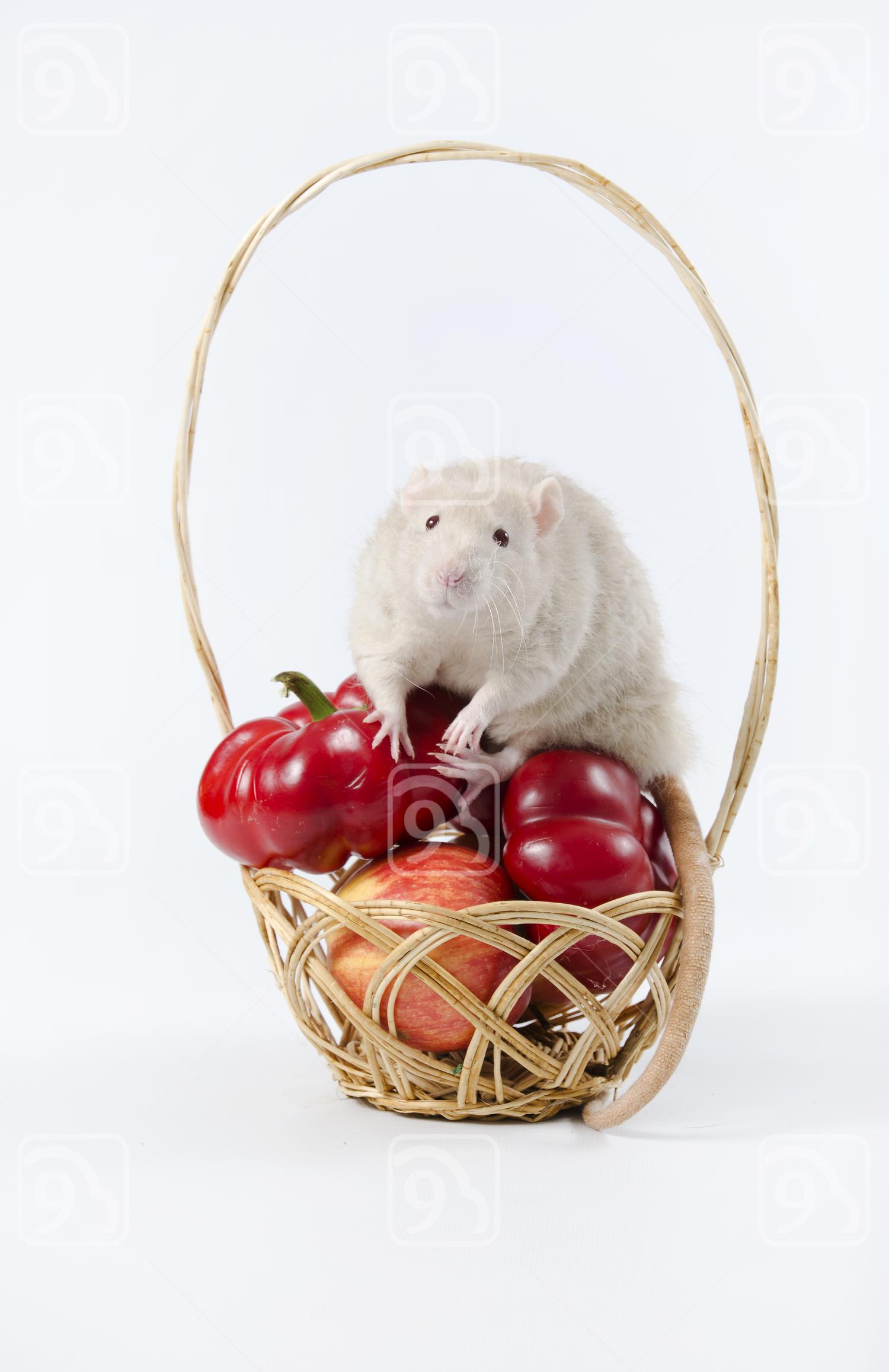 White Rat nosing around a wicker basket