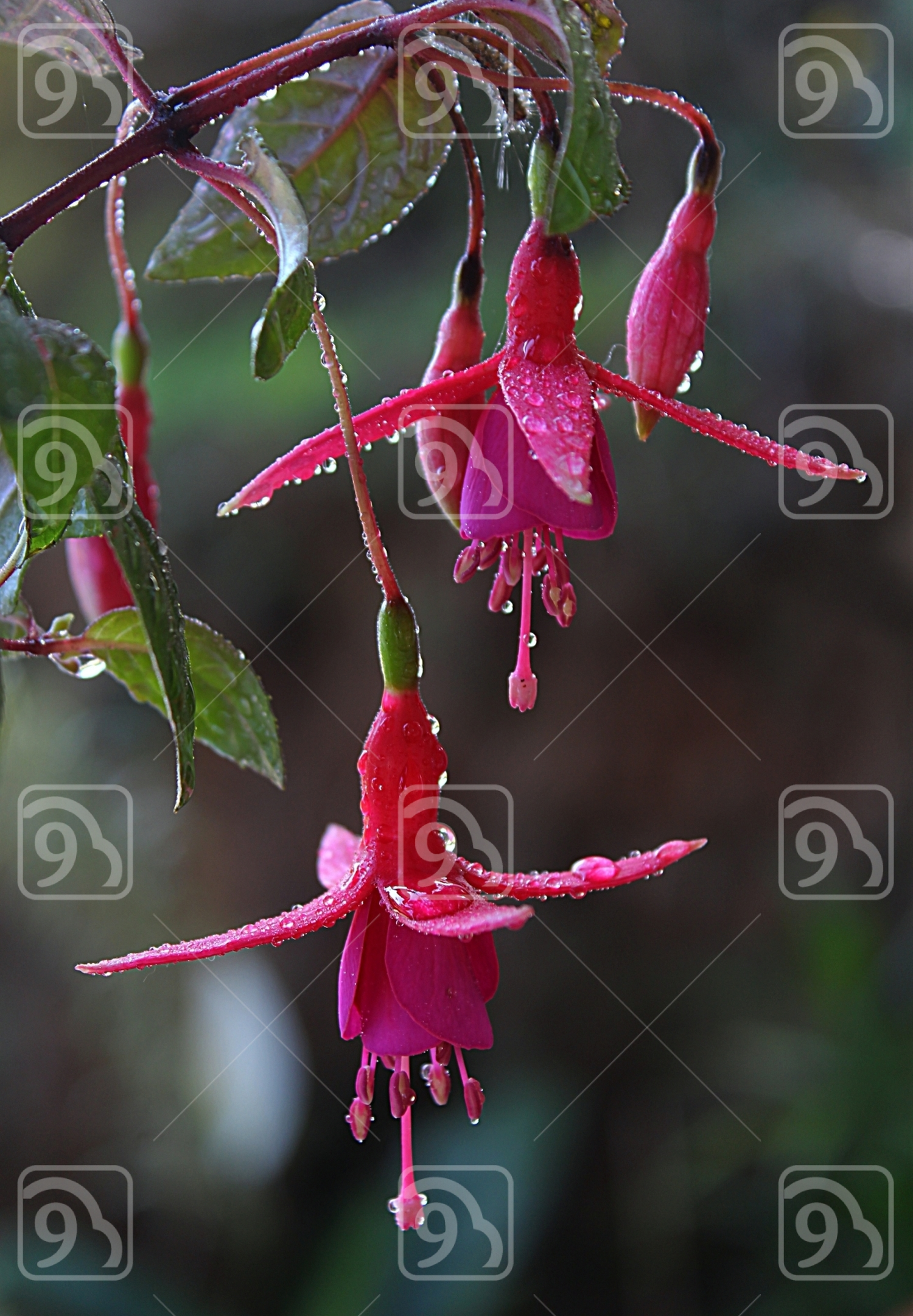 Raindrops On Fuchsia Flowers