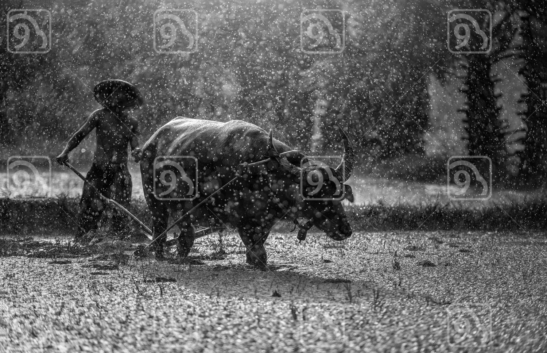 Farmer in The Rain