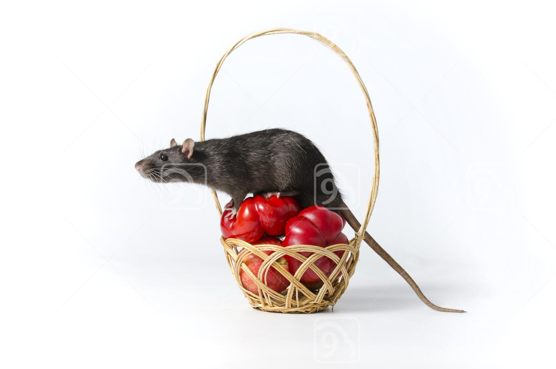 Nosy Black Rat on Wicker Basket
